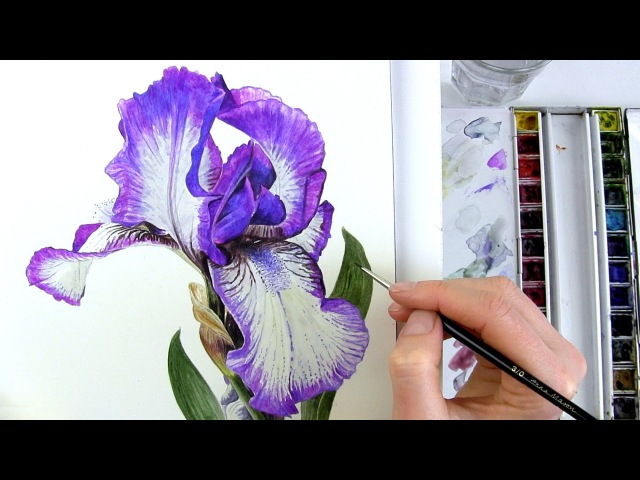 How to paint realistic botanical bearded Iris in watercolour with Anna Mason