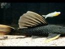 黃金霓虹達摩 Hypostomus luteus