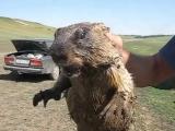 Как кричит сурок / How marmot screams