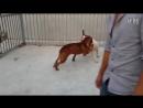 Собачьи бои американский бульдог vs питбуль