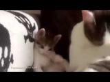 Мама кошка учит катенка умываться # ЛУЧШИЕ приколы с животными 2015