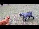 Забавные животные. Козы