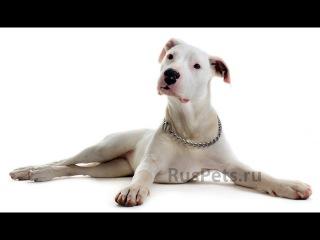 Аргентинский дог, все породы собак, 101 dogs. Введение в собаковедение.