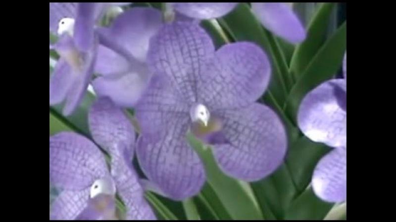 Dạy làm hoa đất sét - Hoa Lan Vanda Phần I