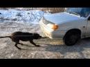 Питбуль вот самая сильная собака