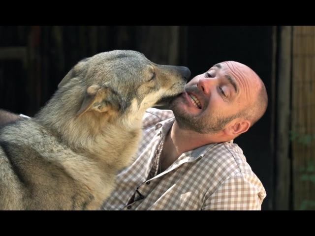Итальянский волк Планета собак 🌏 Моя Планета