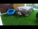 Леопардовый геккон (Эублефар) ест Зофобас / Leopard gecko eating Zophobas morio