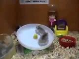 Two Hamsters and one Wheel   Два хомяка и одно колесо