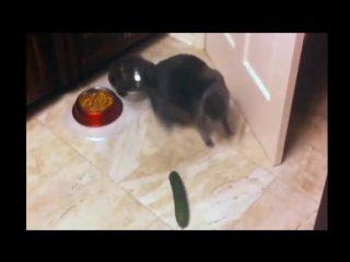 Реакция котов на огурцы