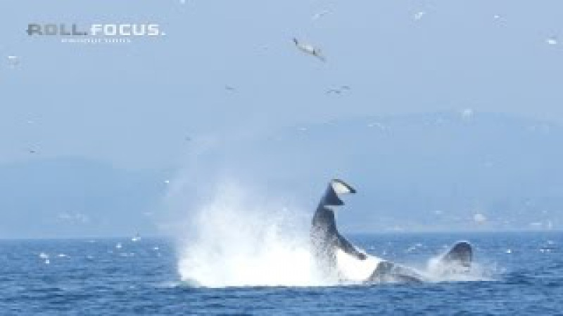 Transient orca punts a seal 80 feet into the air near Victoria, BC!