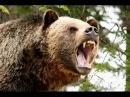 Охота медведя гризли лат Ursus arctos horribilis