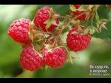 Целебные ягоды. Дары леса Малина. Пища богов  22.05.2015