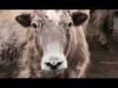 Тува. Паломничество к азиатским быкам. Часть 1 🐾 Про животных и людей 🌏 Моя Пла