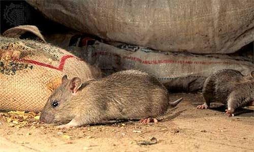 По всему городу наблюдается массовое появление мышей