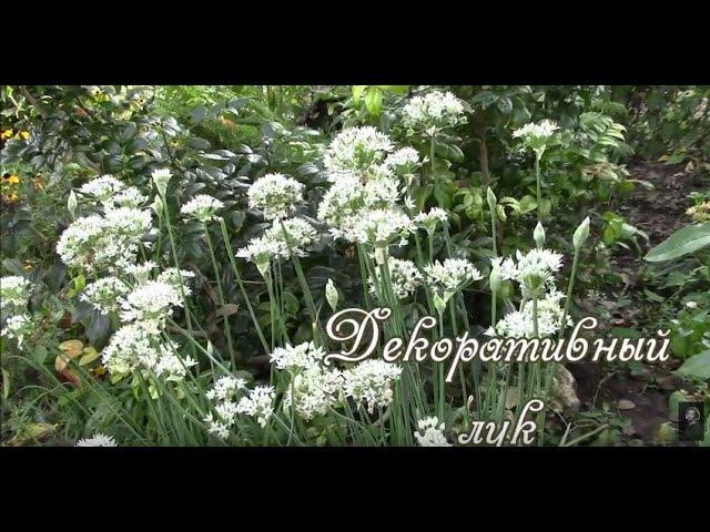 Декоративный лук джусай Весной размножаем делением корня