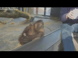 Реакция обезьяны-орангутана на показанный фокус / Monkey Sees A Magic Trick