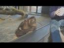 Реакция обезьяны-орангутана на показанный фокус  Monkey Sees A Magic Trick