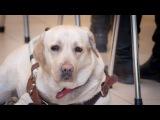 Вести.Ru Верните Диану похищенную собаку-поводыря ищут в Домодедове