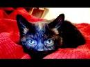 Talking Kitty Cat 29 Kitten Sitting