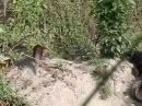 Болотный крокодил шугает выдр, Samsara Safari- Otter n Crocodile