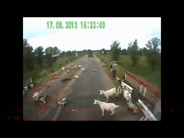 Авария ДТП №1190, 17 Августа, УЖАС! КАМАЗ раздавил 42 козы, ВПЕЧАТЛИТЕЛЬНЫМ НЕ СМОТРЕТЬ!