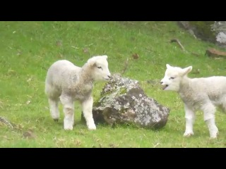 Happy Hopping Baby Lamb - Have A Lot Of Fun