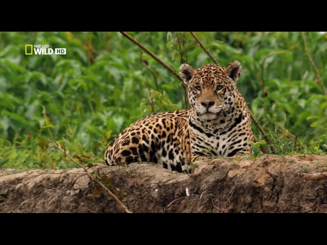 Ягуар Panthera onca Часть 2