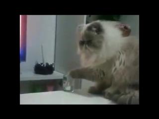 кот-скот