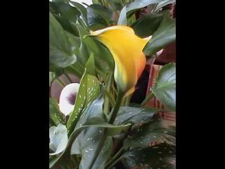 Цветы каллы фото