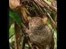 Филиппинский долгопят.Маленькое чудо природы.