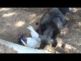 Лиса-злодей убила утку и смеется как настоящий маньяк