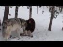 Девушка и ручной волк