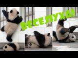 ЗАБАВНЫЕ ПАНДЫ! Приколы с животными панда