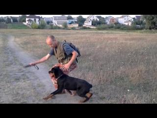 Воспитание щенка ротвейлера. Как отучить щенка бросаться на домашних животных?