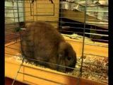 Декоративный кролик - карликовый баран (Пуся)