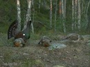 Capercaillie display in Mykland, Norway 2010