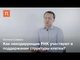 Структурная роль некодирующих РНК - Евгений Шеваль