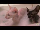 Hairless Kitty Bath Too Cute!