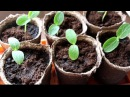 Выращивание рассады огурцов в домашних условиях