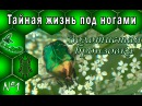 Тайная жизнь по ногами Золотистая бронзовка Cetonia aurata