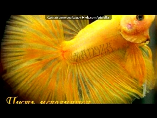Лабидохромис Еллоу - желтая рыбка цихлида: содержание ...