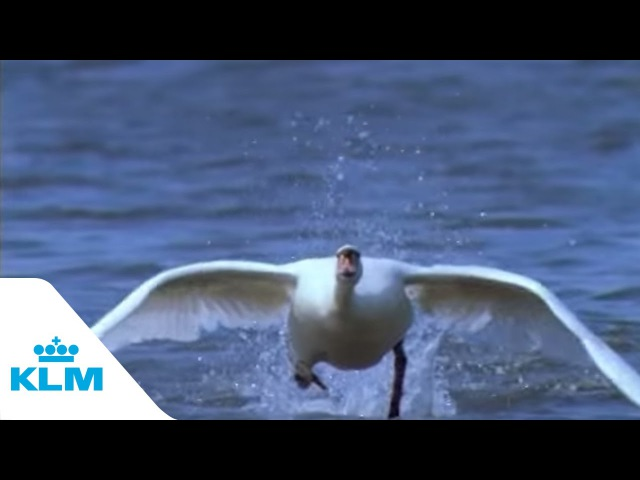 KLM commercial: Swan Take off