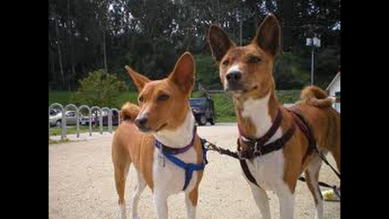 Басенжи (Basenji). Породы собак (Dog Breed)