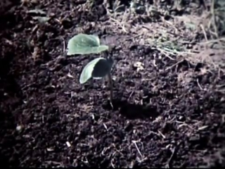 Развитие растения из семени / 1977