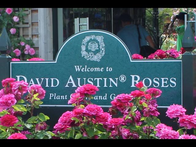 David Austin Rose Garden HD