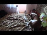 Американский питбуль, смотрите что они делают когда хозяев нет дома