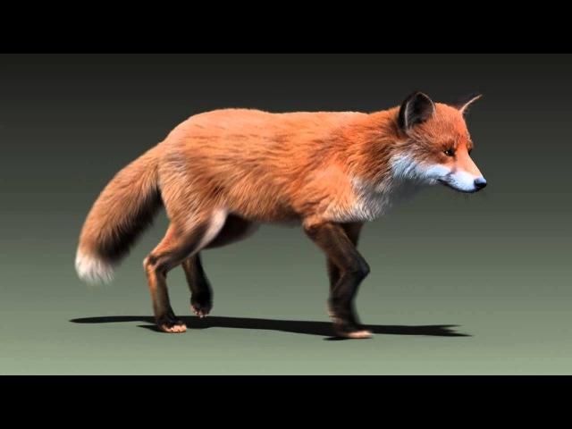 Red fox run cycle animation