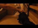 щенок йорка и тоя 2 месяца