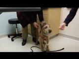 Слепая в прошлом собака, впервые увидела своих хозяев