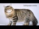 Самые большие породы домашних кошек